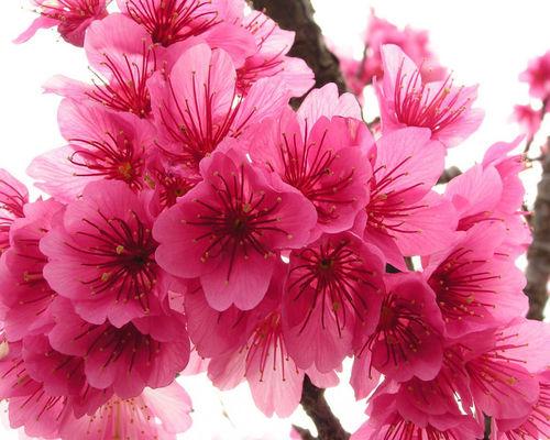 Ханами – время цветения сакуры